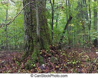 linden, árvore velha, outono
