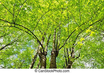 linden, árvores