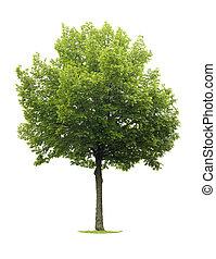 linden, albero