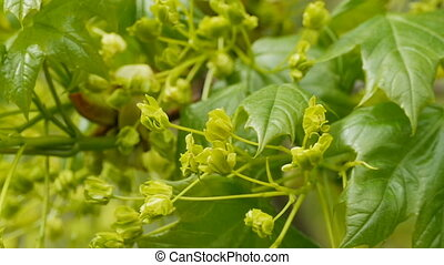 Linden blossom with buds on twig  tree close-up