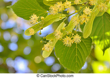 Linden flowers and linden tree