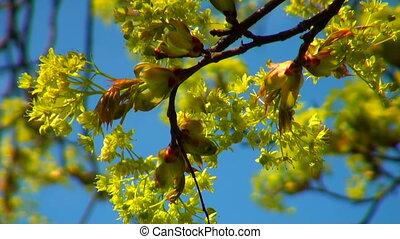 Linden flowers in the sky.