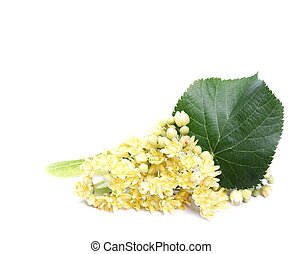 linden flowers isolated on white