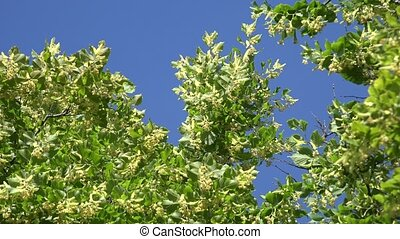 Linden flowers move in wind on blue sky background. 4K
