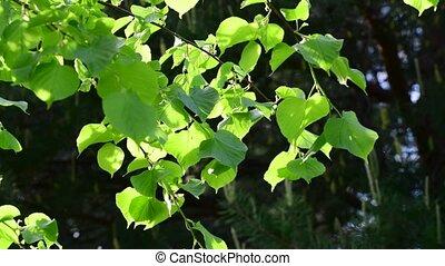 Linden leaves shot large in backlight - Linden leaves shot...