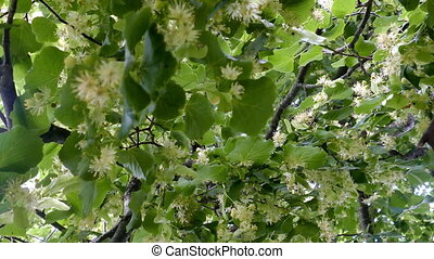 Linden tree blossoms with green leaves. Flower are used for medicinal purposes.