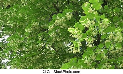 Linden tree branches full of flowers blooms move in wind....