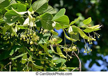 Linden Tree (lime tree) linden blossom