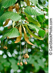 linden tree seeds closeup on green leaves background