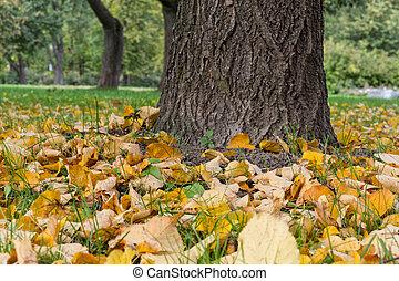 linden tree trunk close up