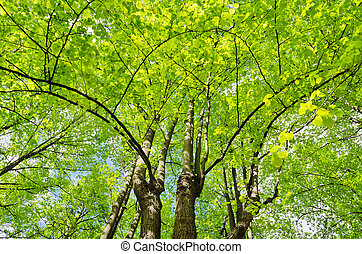 Linden trees - Group of linden trees with lush foliage