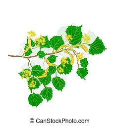 Linden twig with flowers vector - Linden twig with flowers...