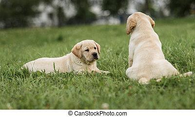 lindo, amarillo, labrador, perrito, acostado, y, mirar, a, el suyo, hermano