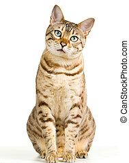 lindo, bengala, gatito, miradas, pensively, en cámara del...