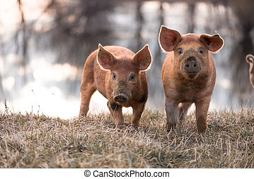 lindo, cerdos, mangalitsa