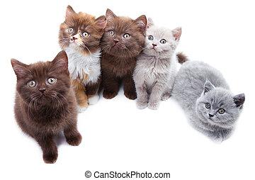 lindo, cinco, brititsh, gatitos