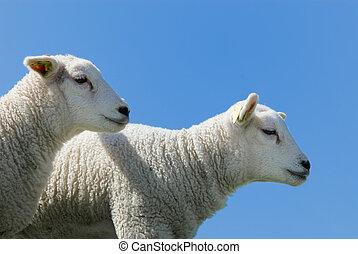lindo, corderos