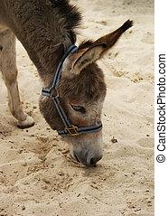 lindo, donkey.