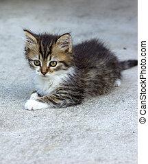 lindo, gatito, -, maine, coon