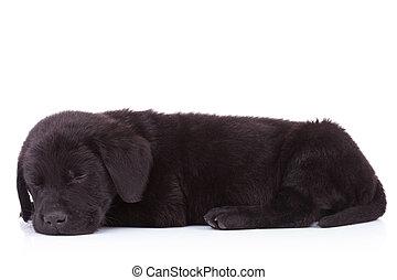 lindo, labrador, sueño, negro, vista, lado, perro cobrador