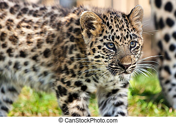 lindo, leopardo de amur, arriba, cachorro, bebé, cierre