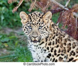 lindo, leopardo de amur, cachorro, bebé, retrato