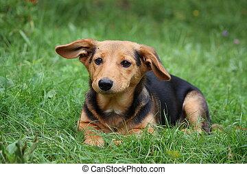 lindo, marrón, descansar, perro, pequeño, pasto o césped