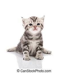 lindo, norteamericano, gatito, shorthair, sentado