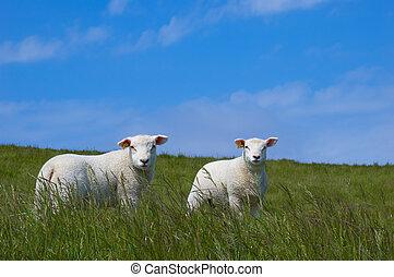 lindo, oveja bebé