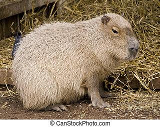 lindo, paja, contra, roedor, capybara, plano de fondo
