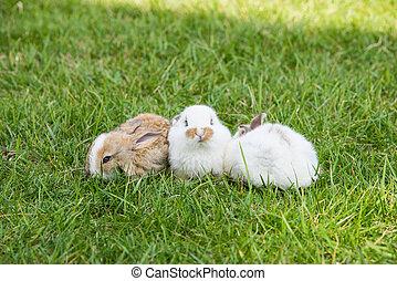lindo, poco, conejos, en, pasto o césped