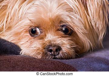 lindo, poco, terrier, perro