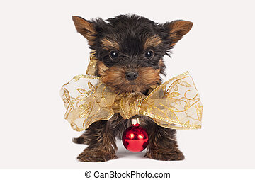 lindo, puppy., terrier, yorkshire