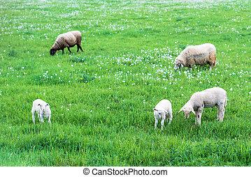lindo, sheep, familia