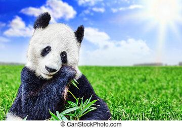 lindo, sprout., mascar, oso, activamente, verde, bambú, ...