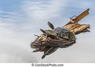 lindo, tortugas, resto, en, sol, en, charca