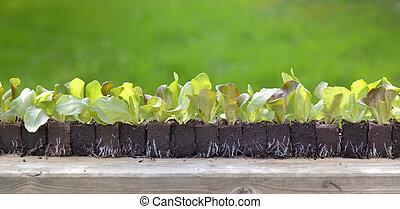 line of a lettuce seedlings on a table in a garden