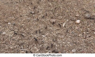 ants busy around their nest - Line of ants busy around their...