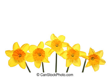 daffodil flowers in a line isolated on white copy space above