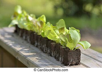 line of lettuce seedlings on a board in a garden