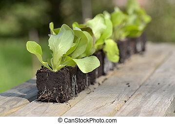 line of lettuce seedlings on a table in a garden