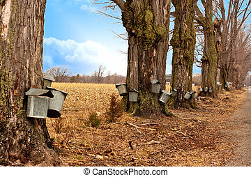 Line of Maple Syrup Buckets - A line of trees with maple...