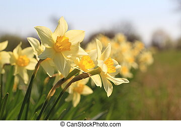 line of narcissus in the garden