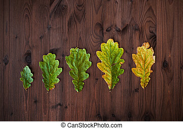 Line of oak leaves in different stages of aging. Beautiful oak leaves on wooden background