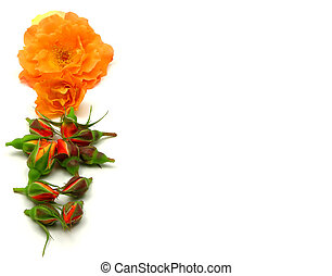 Line of roses on the left side on white background