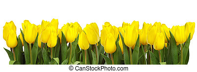 A line of bright yellow tulips on white backgound