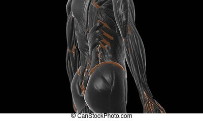 Linea alba Anatomy For Medical Concept 3D Illustration