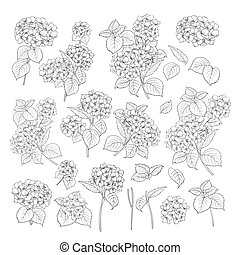 Linear style set of white hydrangea, hand drawn contour illustration of hortensia flowers isolated on a white background. White hydrangea collection.
