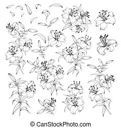Linear style set of white lilies, hand drawn contour illustration of flowers isolated on a white background. White lily collection.