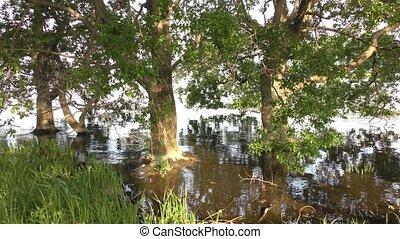 Lined japanese alder trees - Lined japanese alder (Alnus...